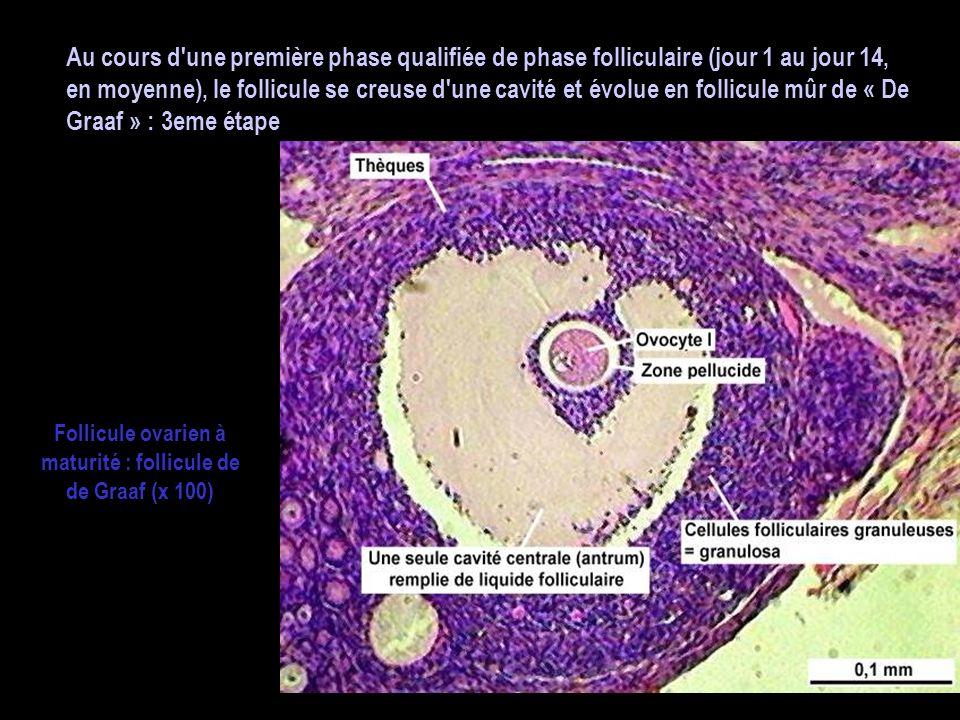 Follicule ovarien à maturité : follicule de de Graaf (x 100)