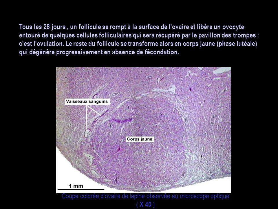 Tous les 28 jours , un follicule se rompt à la surface de l ovaire et libère un ovocyte entouré de quelques cellules folliculaires qui sera récupéré par le pavillon des trompes : c est l ovulation. Le reste du follicule se transforme alors en corps jaune (phase lutéale) qui dégénère progressivement en absence de fécondation.