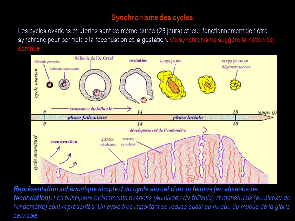 Synchronisme des cycles