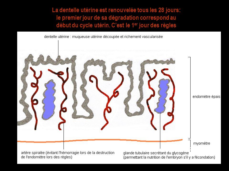 La dentelle utérine est renouvelée tous les 28 jours: le premier jour de sa dégradation correspond au début du cycle utérin.