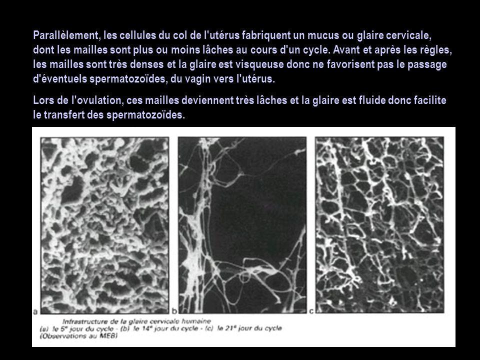 Parallèlement, les cellules du col de l utérus fabriquent un mucus ou glaire cervicale, dont les mailles sont plus ou moins lâches au cours d un cycle. Avant et après les règles, les mailles sont très denses et la glaire est visqueuse donc ne favorisent pas le passage d éventuels spermatozoïdes, du vagin vers l utérus.