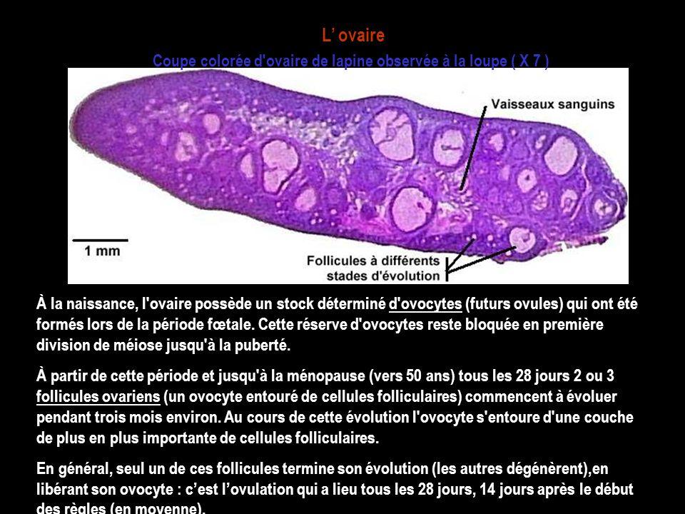 Coupe colorée d ovaire de lapine observée à la loupe ( X 7 )