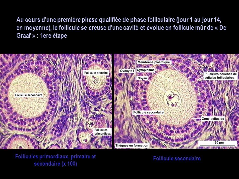 Follicules primordiaux, primaire et secondaire (x 100)