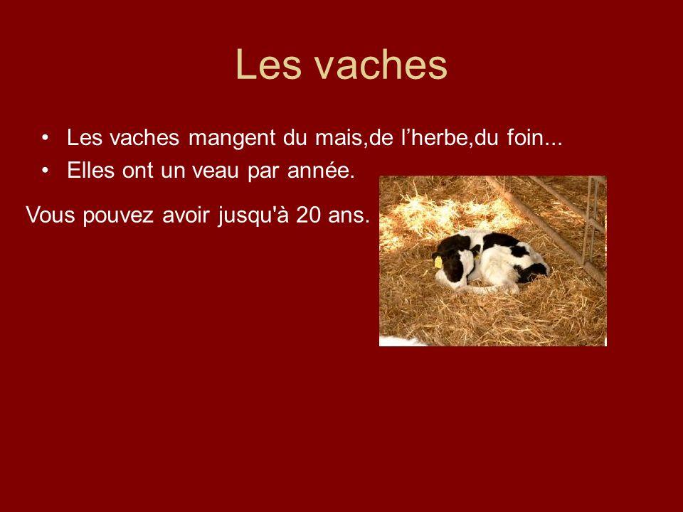 Les vaches Les vaches mangent du mais,de l'herbe,du foin...