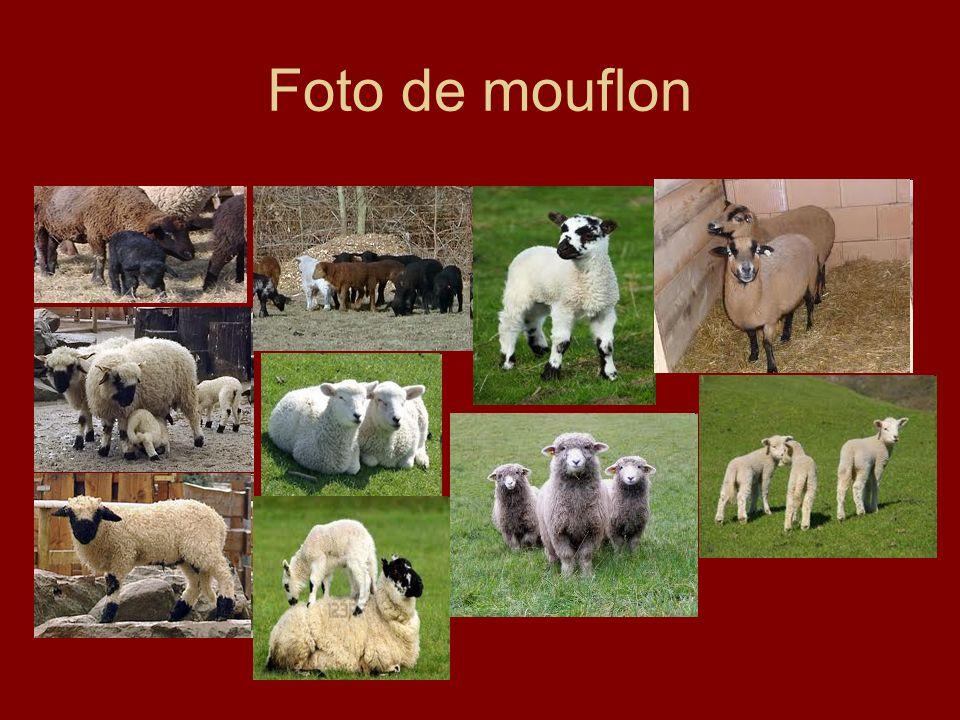 Foto de mouflon