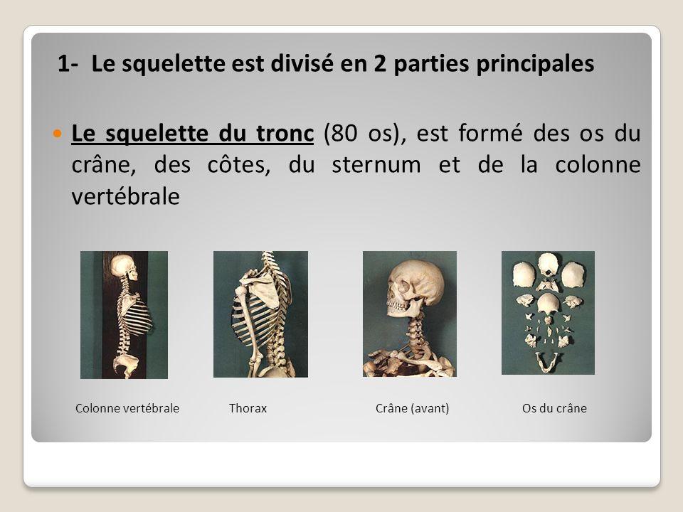 1- Le squelette est divisé en 2 parties principales