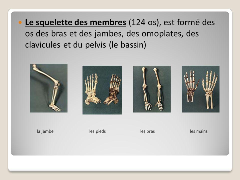Le squelette des membres (124 os), est formé des os des bras et des jambes, des omoplates, des clavicules et du pelvis (le bassin)