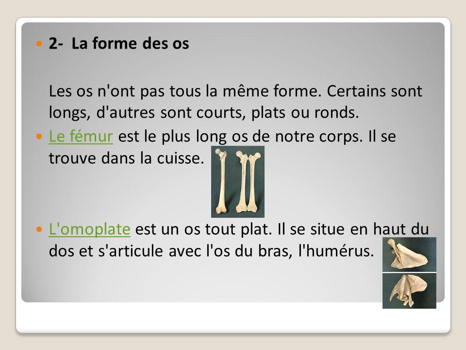 2- La forme des osLes os n ont pas tous la même forme. Certains sont longs, d autres sont courts, plats ou ronds.