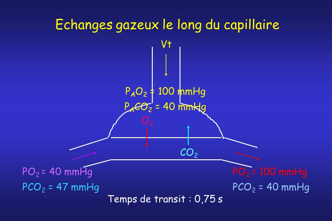 Echanges gazeux le long du capillaire