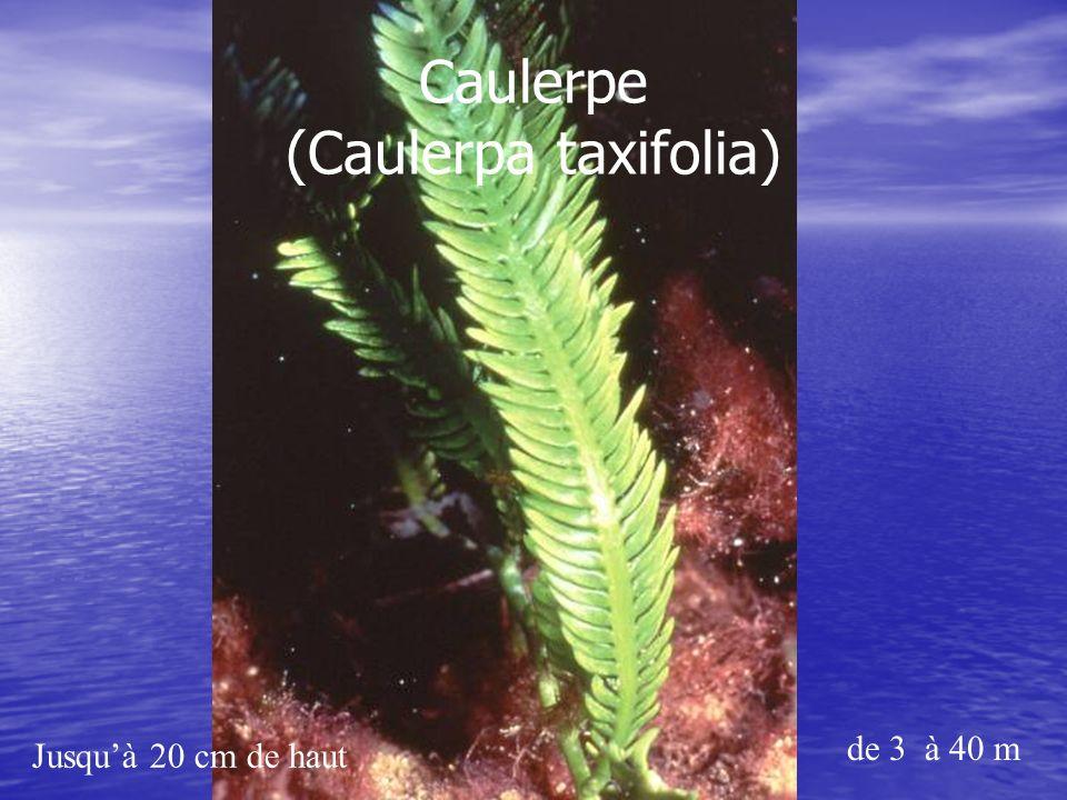 Caulerpe (Caulerpa taxifolia)