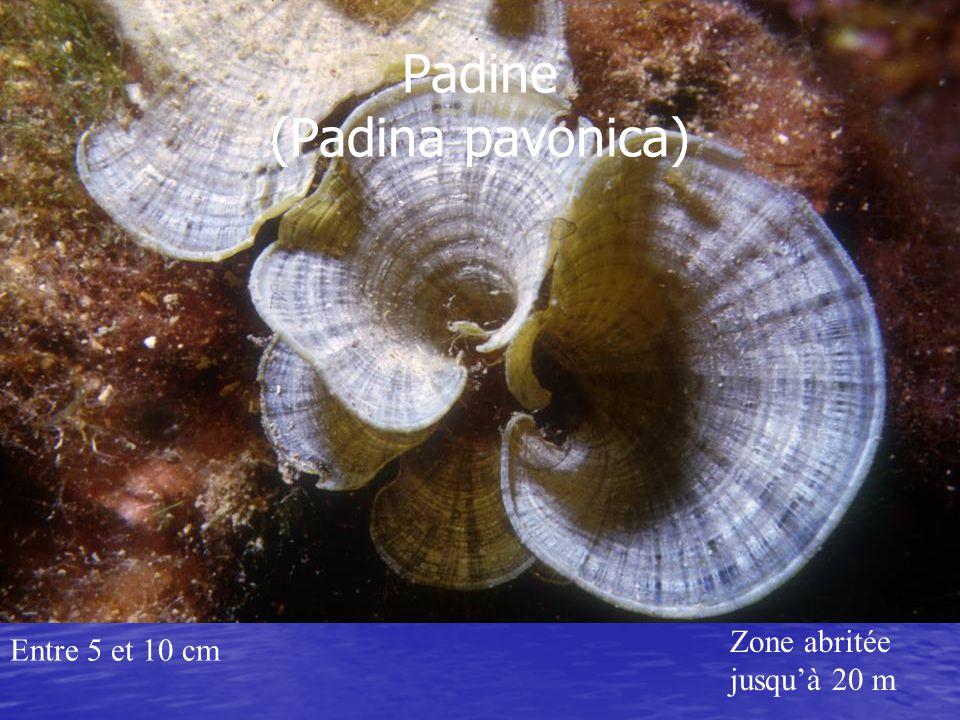 Padine (Padina pavonica)