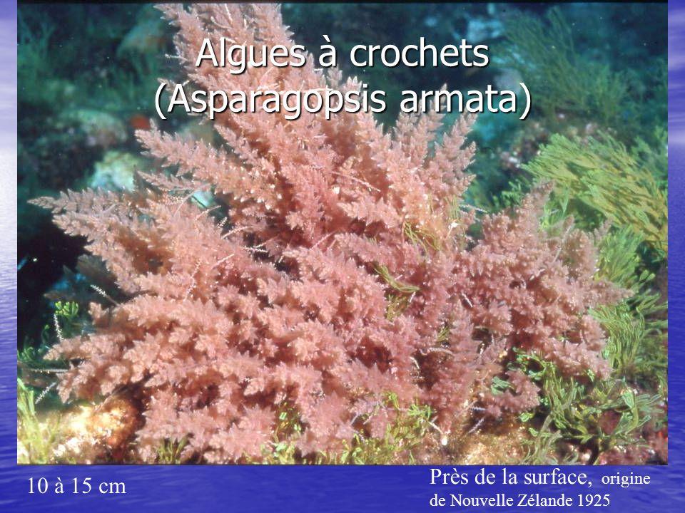 Algues à crochets (Asparagopsis armata)