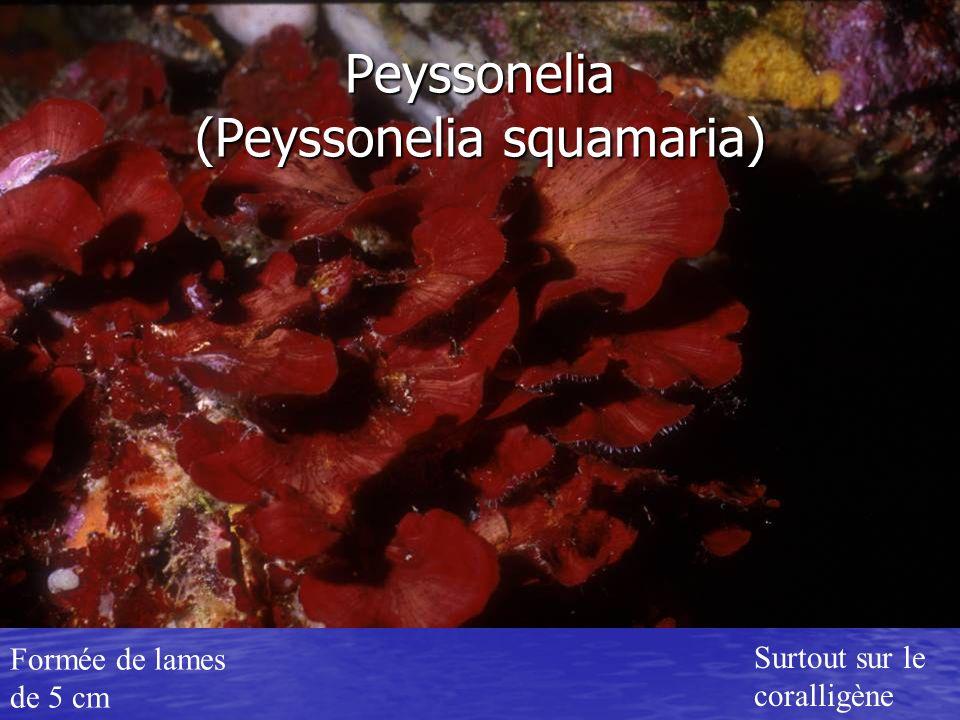 Peyssonelia (Peyssonelia squamaria)