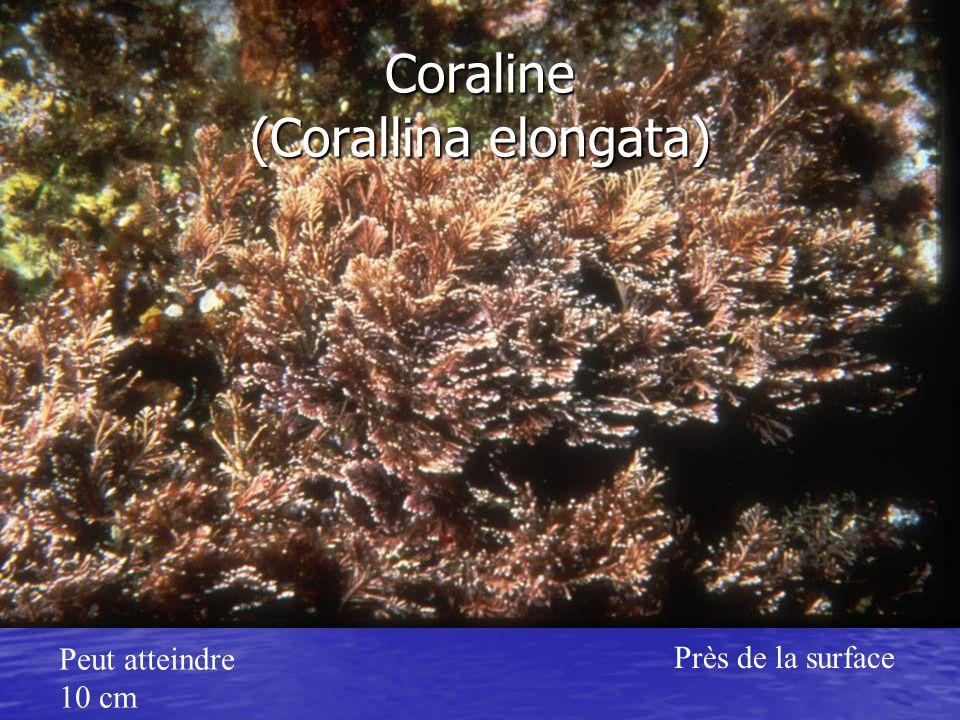 Coraline (Corallina elongata)