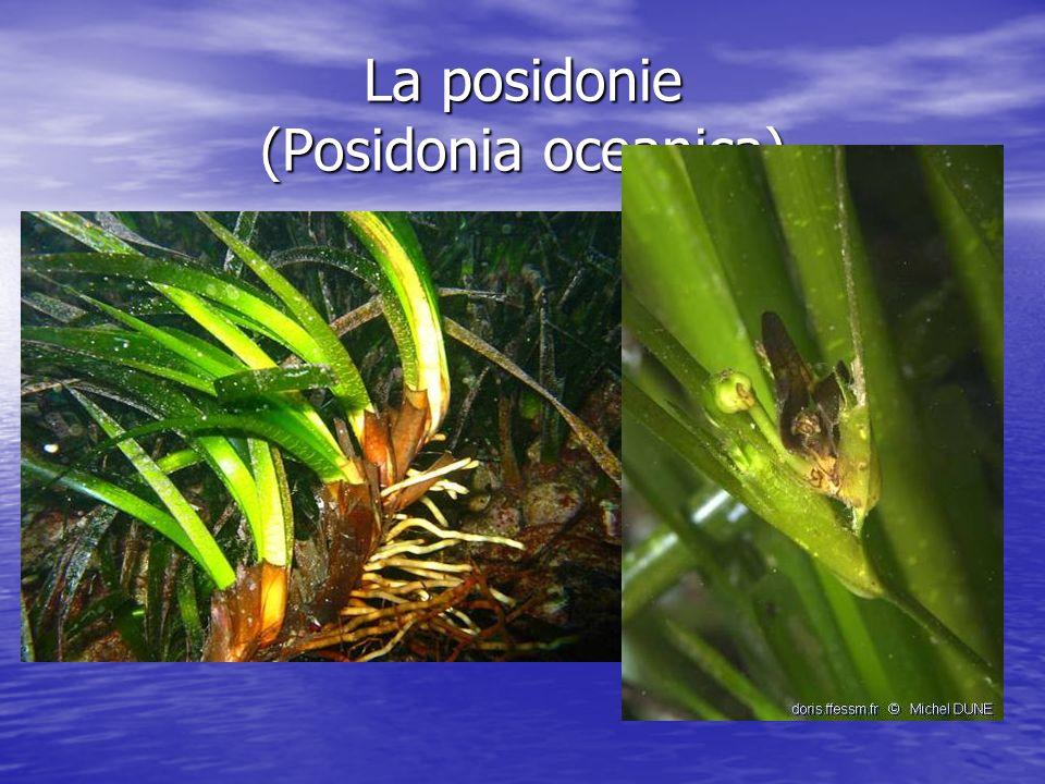 La posidonie (Posidonia oceanica)