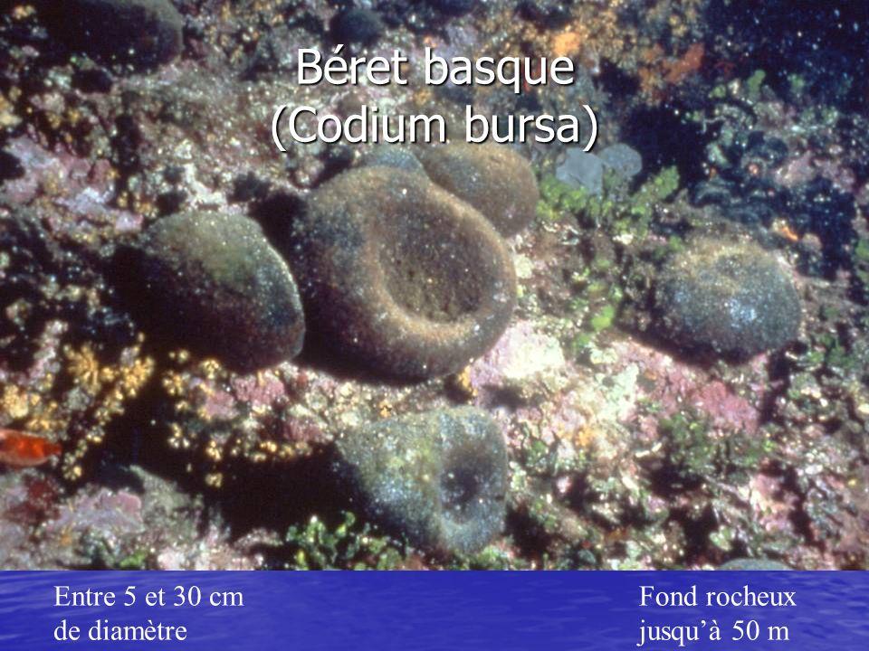 Béret basque (Codium bursa)