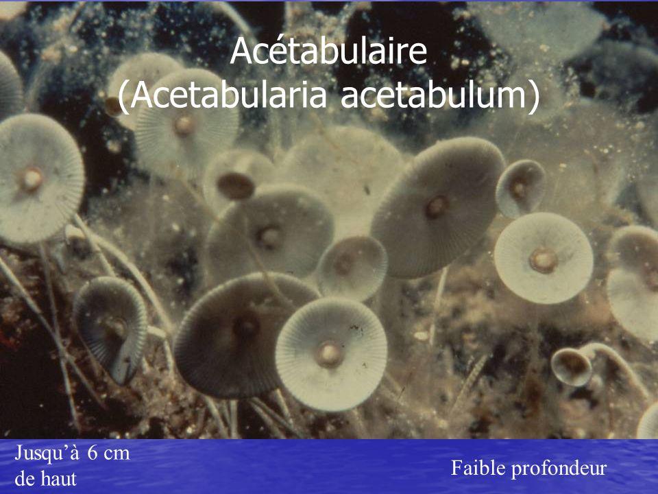 Acétabulaire (Acetabularia acetabulum)