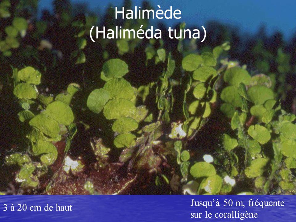 Halimède (Haliméda tuna)