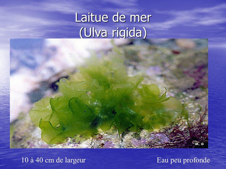 Laitue de mer (Ulva rigida)