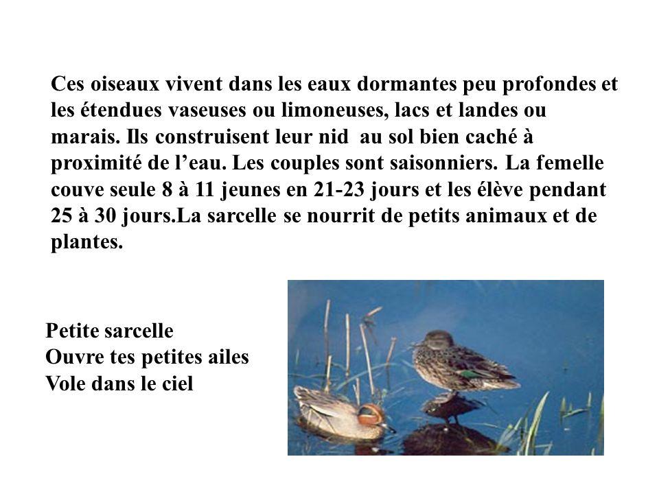 Ces oiseaux vivent dans les eaux dormantes peu profondes et les étendues vaseuses ou limoneuses, lacs et landes ou marais. Ils construisent leur nid au sol bien caché à proximité de l'eau. Les couples sont saisonniers. La femelle couve seule 8 à 11 jeunes en 21-23 jours et les élève pendant 25 à 30 jours.La sarcelle se nourrit de petits animaux et de plantes.