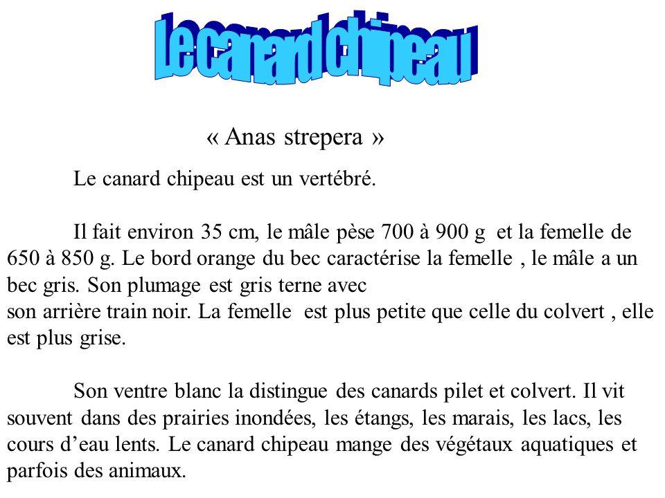 Le canard chipeau « Anas strepera »