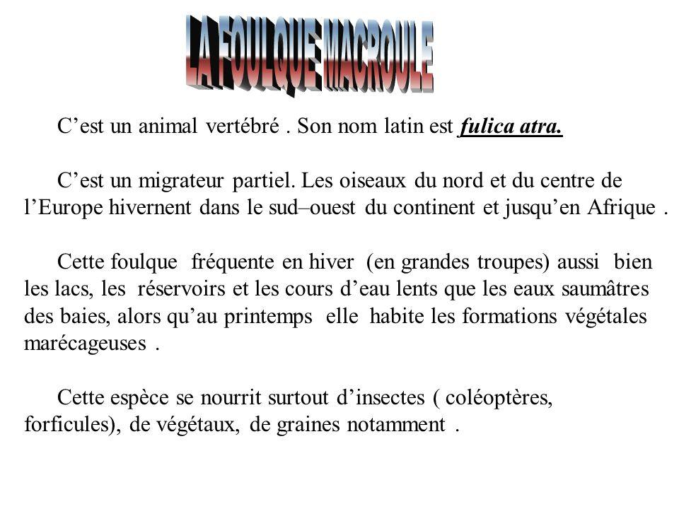 LA FOULQUE MACROULE C'est un animal vertébré . Son nom latin est fulica atra.