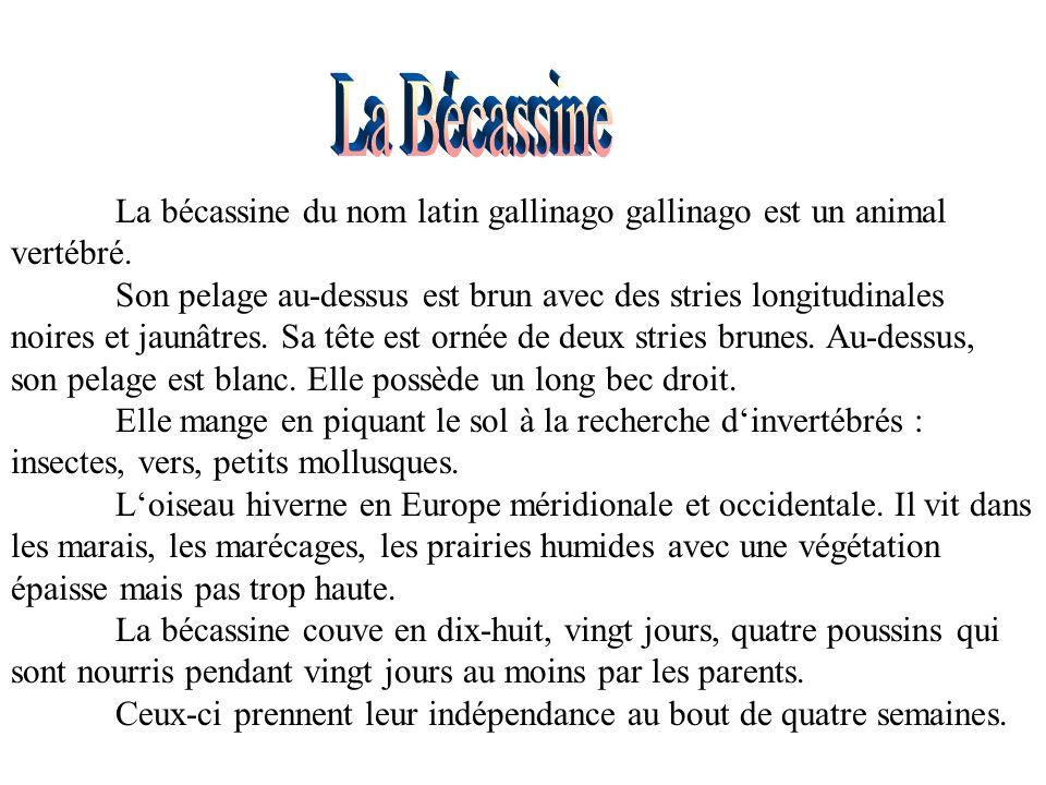 La Bécassine La bécassine du nom latin gallinago gallinago est un animal vertébré.