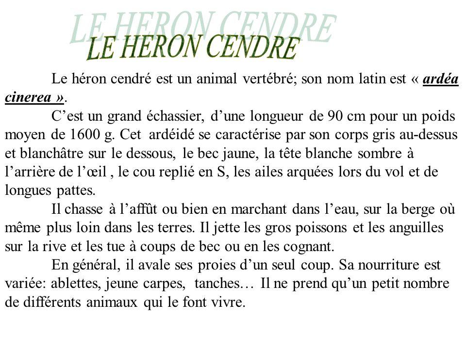 LE HERON CENDRE Le héron cendré est un animal vertébré; son nom latin est « ardéa cinerea ».