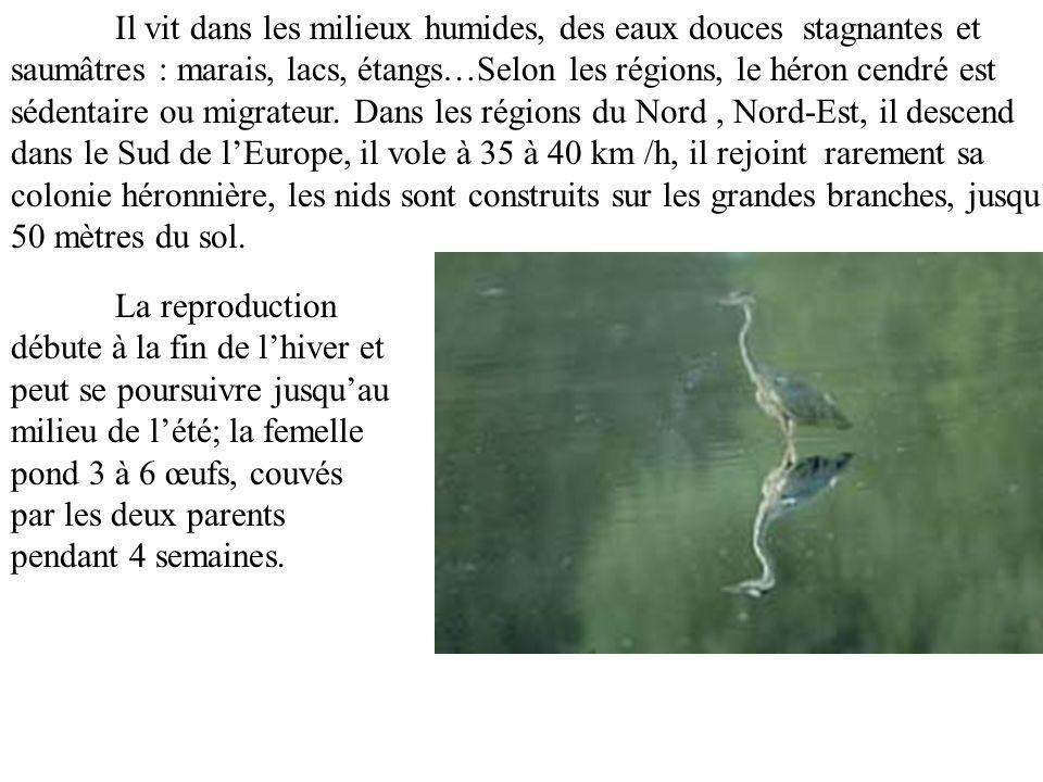 Il vit dans les milieux humides, des eaux douces stagnantes et saumâtres : marais, lacs, étangs…Selon les régions, le héron cendré est sédentaire ou migrateur. Dans les régions du Nord , Nord-Est, il descend dans le Sud de l'Europe, il vole à 35 à 40 km /h, il rejoint rarement sa colonie héronnière, les nids sont construits sur les grandes branches, jusqu'à 50 mètres du sol.