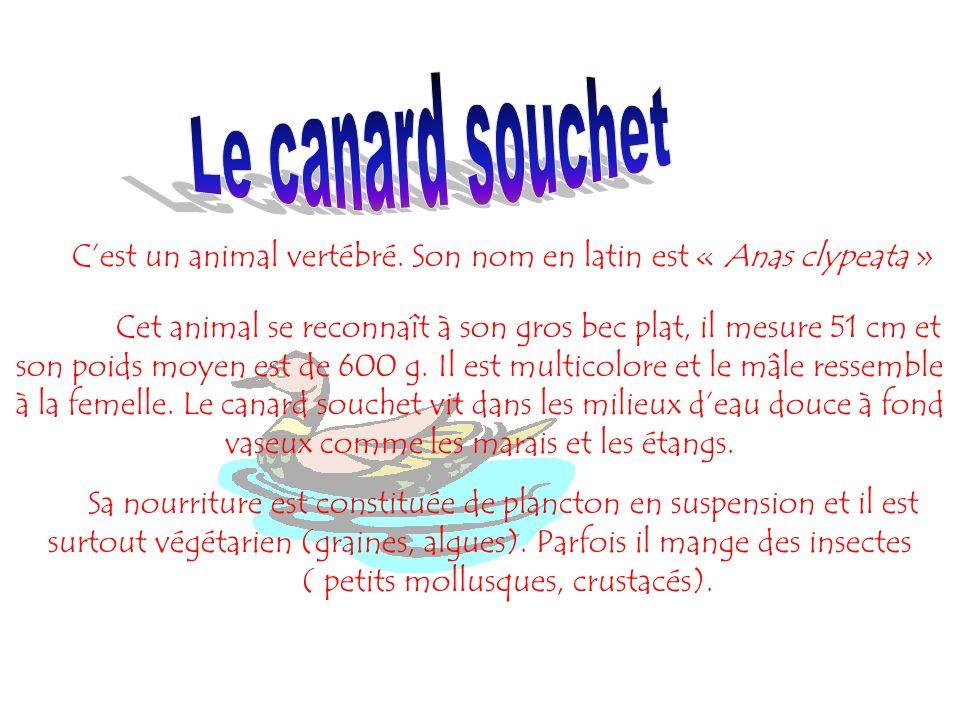 Le canard souchet C'est un animal vertébré. Son nom en latin est « Anas clypeata »