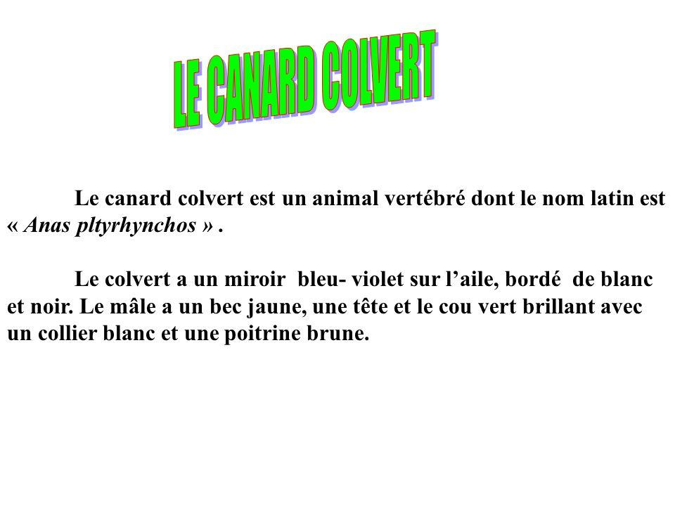 LE CANARD COLVERT Le canard colvert est un animal vertébré dont le nom latin est « Anas pltyrhynchos » .
