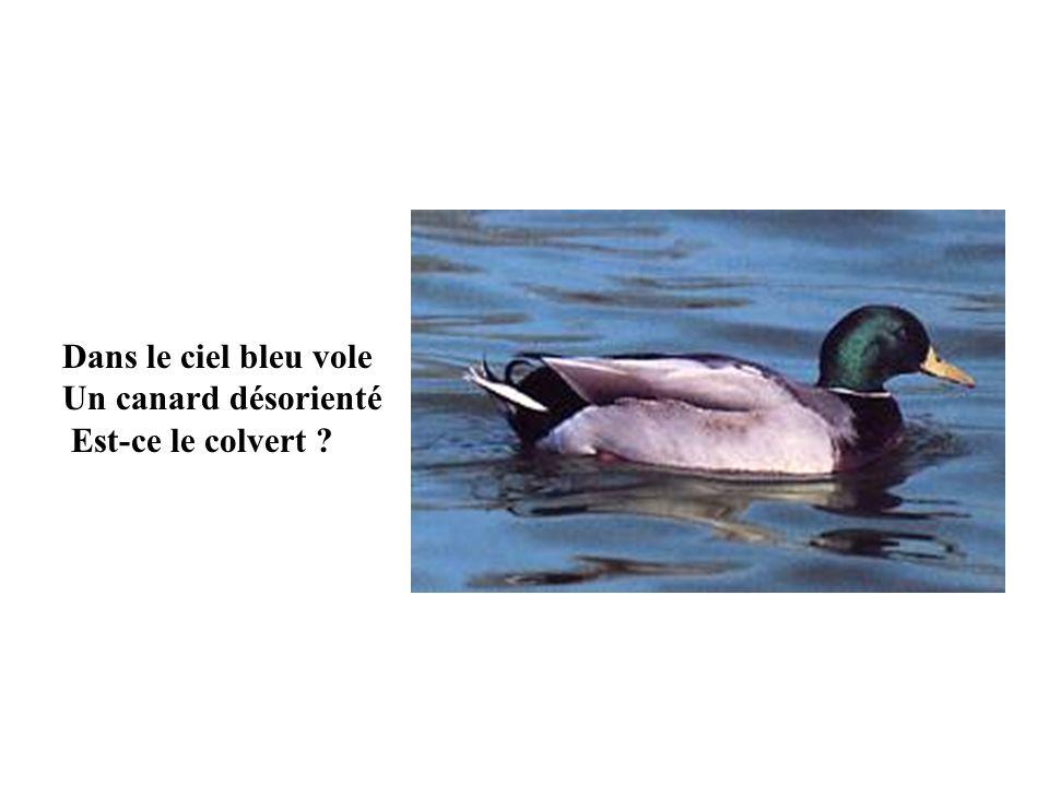 Dans le ciel bleu vole Un canard désorienté Est-ce le colvert