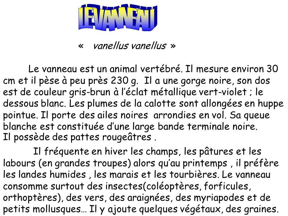 LE VANNEAU « vanellus vanellus »