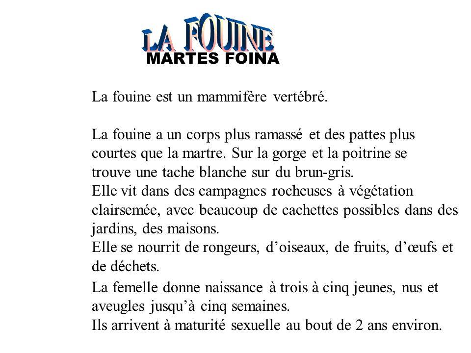 LA FOUINE La fouine est un mammifère vertébré.