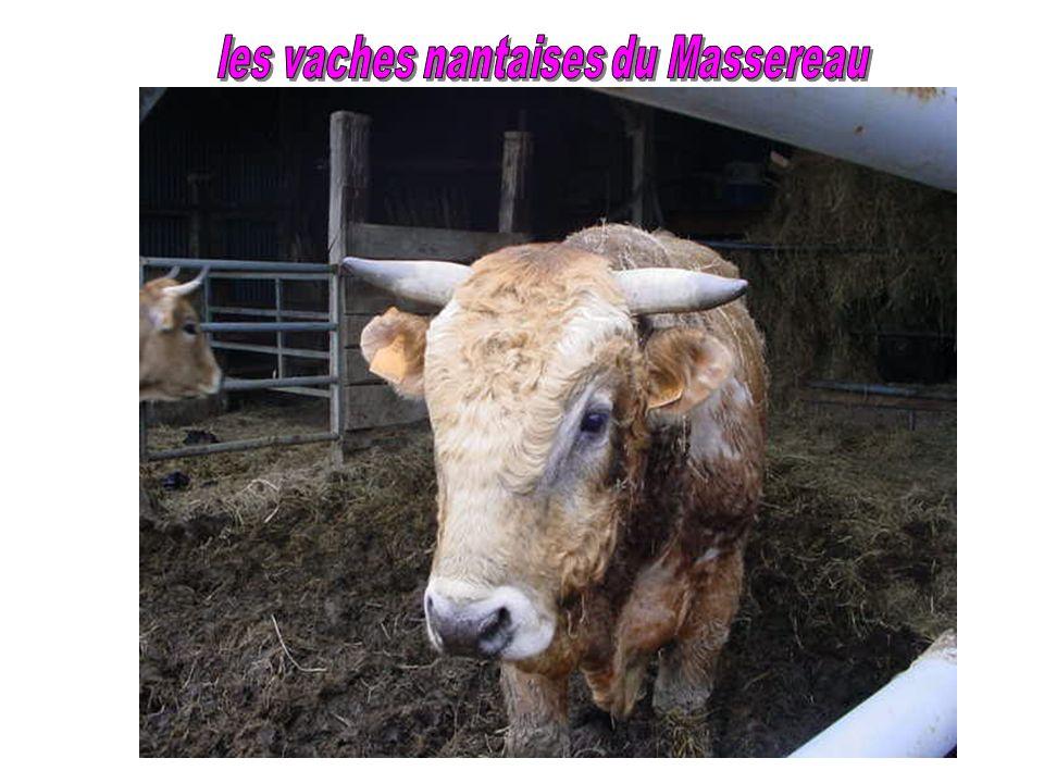 les vaches nantaises du Massereau