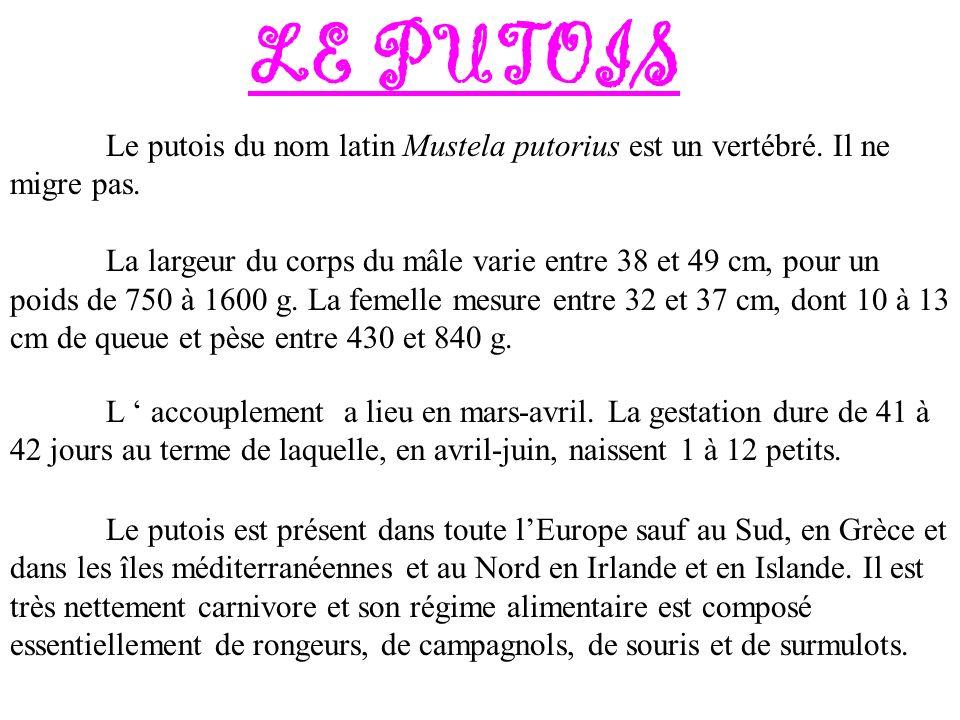LE PUTOIS Le putois du nom latin Mustela putorius est un vertébré. Il ne migre pas.