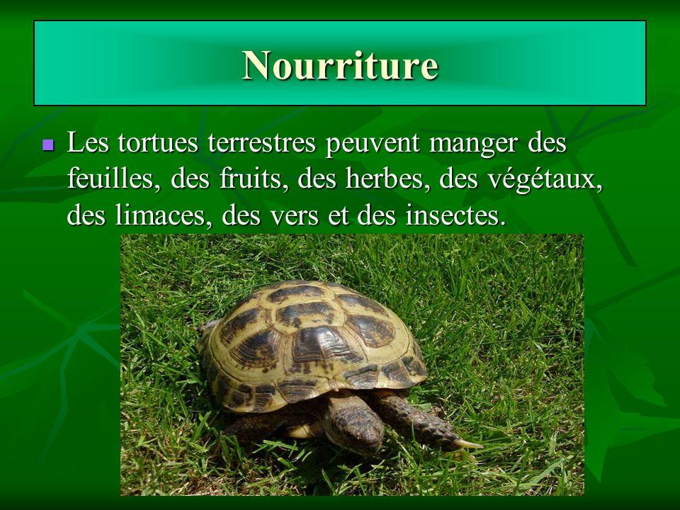 Nourriture Les tortues terrestres peuvent manger des feuilles, des fruits, des herbes, des végétaux, des limaces, des vers et des insectes.