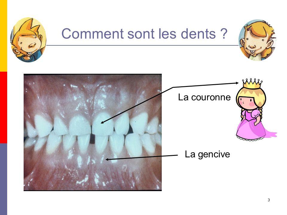 Comment sont les dents La couronne La gencive