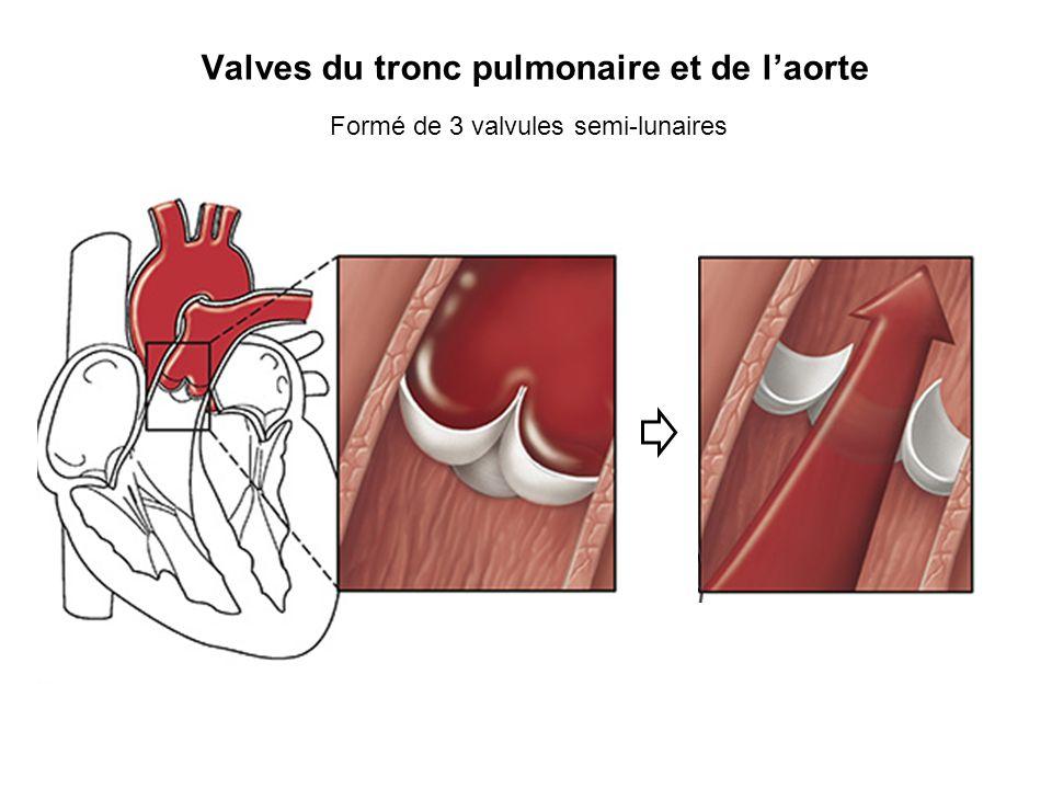 Valves du tronc pulmonaire et de l'aorte