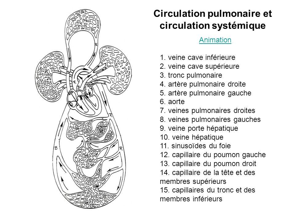 Circulation pulmonaire et circulation systémique