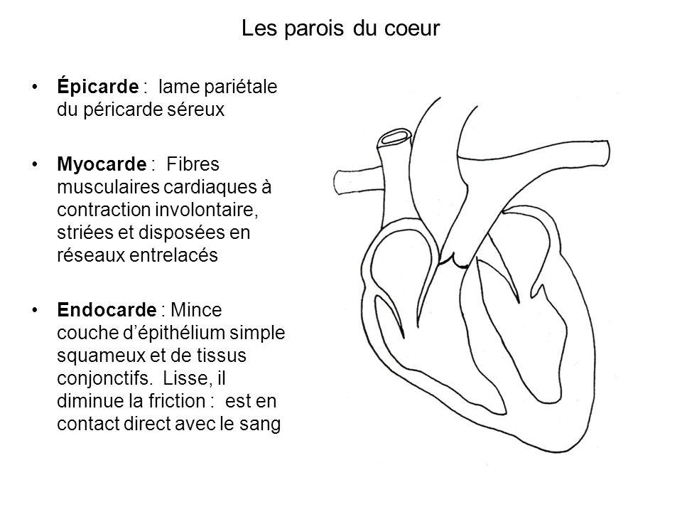 Les parois du coeur Épicarde : lame pariétale du péricarde séreux
