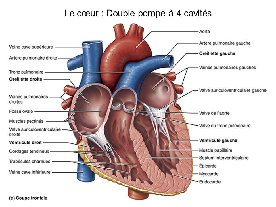 Le cœur : Double pompe à 4 cavités