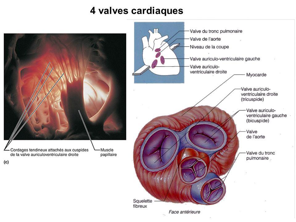 4 valves cardiaques Anti-retour entre les battements !