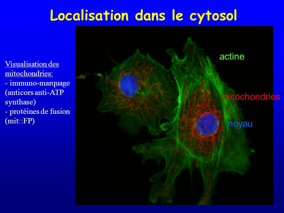 Localisation dans le cytosol