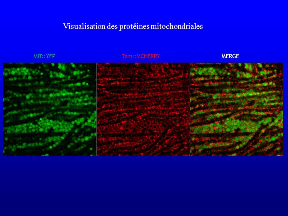 Visualisation des protéines mitochondriales