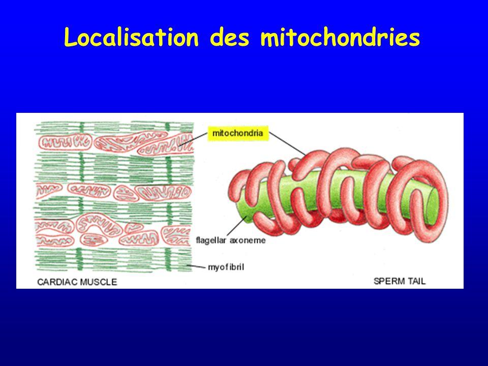 Localisation des mitochondries