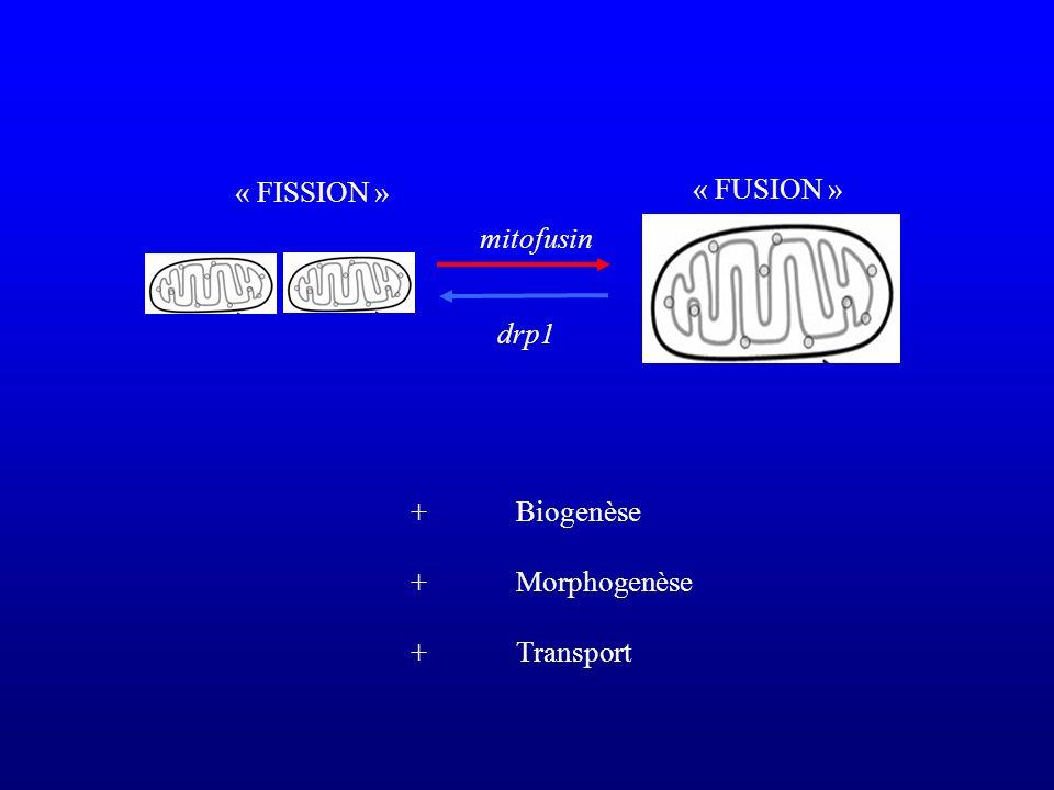 « FISSION » « FUSION » mitofusin drp1 + Biogenèse + Morphogenèse + Transport
