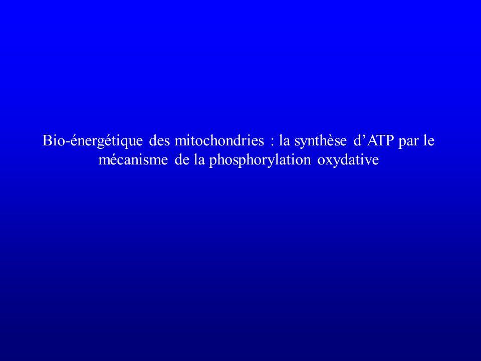 Bio-énergétique des mitochondries : la synthèse d'ATP par le mécanisme de la phosphorylation oxydative
