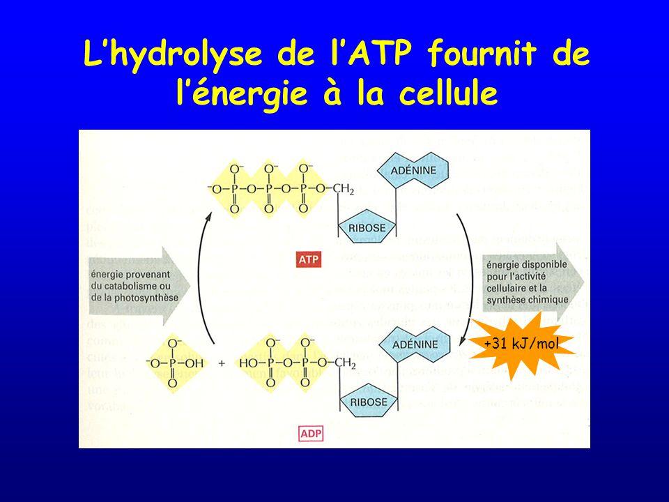 L'hydrolyse de l'ATP fournit de l'énergie à la cellule