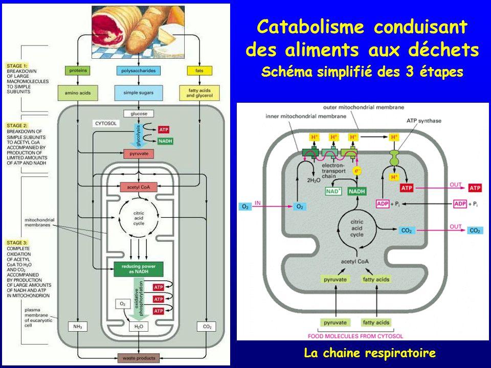 Catabolisme conduisant des aliments aux déchets Schéma simplifié des 3 étapes